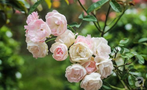 Khu vườn 600m² đẹp lãng mạn và rực rỡ hoa hồng của cô giáo dạy Văn ở Đà Lạt - Ảnh 9.