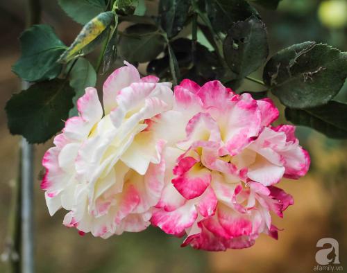 Khu vườn 600m² đẹp lãng mạn và rực rỡ hoa hồng của cô giáo dạy Văn ở Đà Lạt - Ảnh 8.