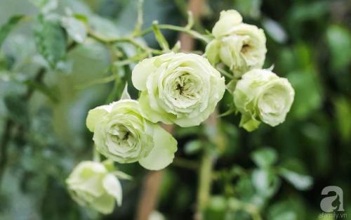 Khu vườn 600m² đẹp lãng mạn và rực rỡ hoa hồng của cô giáo dạy Văn ở Đà Lạt - Ảnh 7.