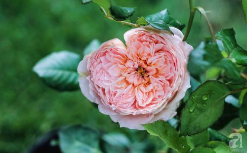 Khu vườn 600m² đẹp lãng mạn và rực rỡ hoa hồng của cô giáo dạy Văn ở Đà Lạt - Ảnh 6.