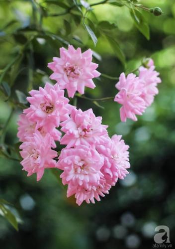 Khu vườn 600m² đẹp lãng mạn và rực rỡ hoa hồng của cô giáo dạy Văn ở Đà Lạt - Ảnh 5.