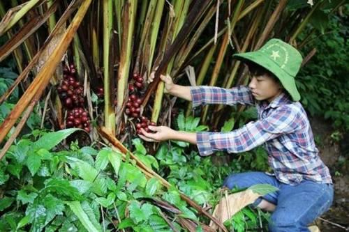 Thảo quả loài cây quý ra quả đỏ, mỗi vụ thu cả trăm tấn