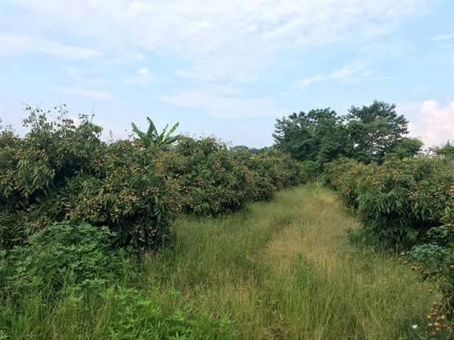 Vườn nhãn, chuối rộng hơn 3.500m2 ở Hà Nội bị kẻ lạ san phẳng
